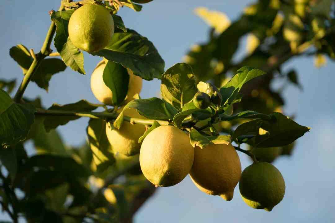 Comment planter un citronnier en pot