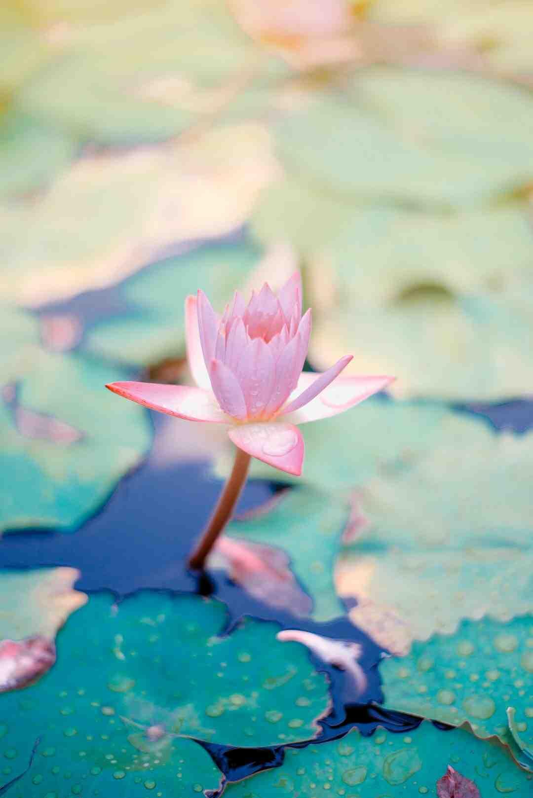 Hoya fleur de porcelaine